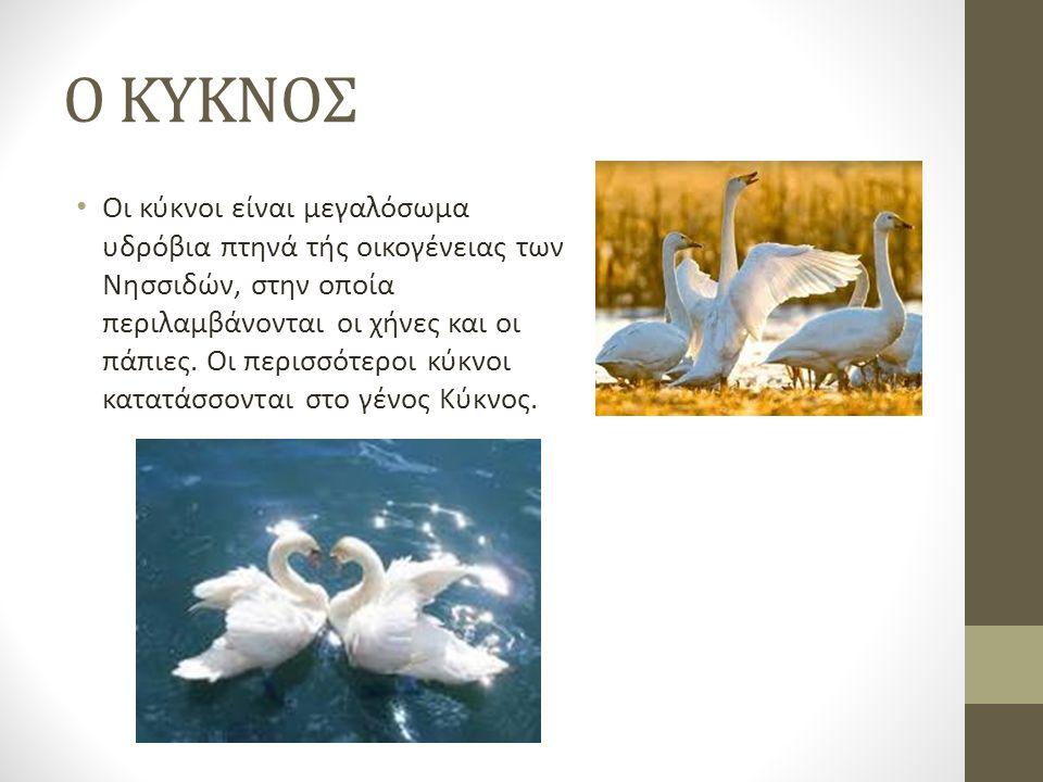O KYKNOΣ Οι κύκνοι είναι μεγαλόσωμα υδρόβια πτηνά τής οικογένειας των Νησσιδών, στην οποία περιλαμβάνονται οι χήνες και οι πάπιες.