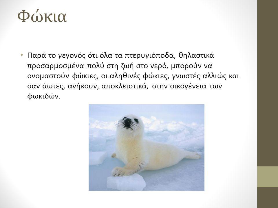 Πολική αρκούδα Η πολική αρκούδα, γνωστή και σαν λευκή αρκούδα, βόρεια ή θαλάσσια αρκούδα, είναι μια μεγάλη αρκούδα που ζει στις Αρκτικές περιοχές