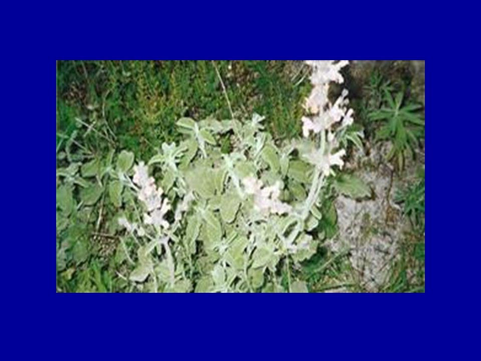 Φασκόμηλο (Salvia fruticosa) Ένα από τα πιο διαδεδομένα βότανα με εξαιρετικό άρωμα.