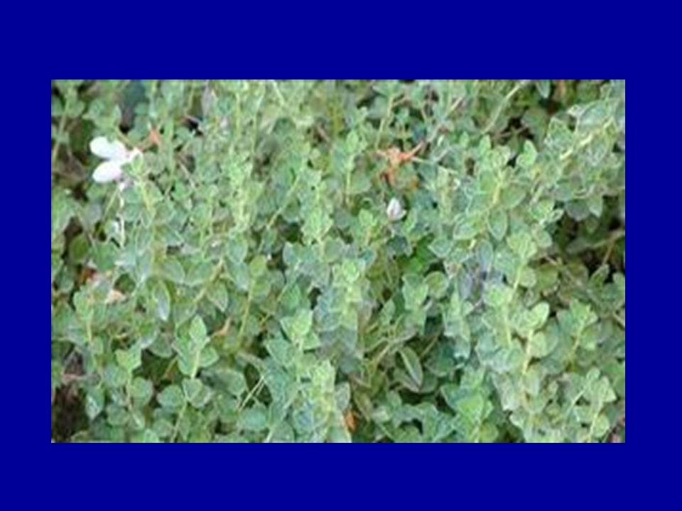 Βασιλικός (Ocimum basilicum) Χρησιμοποιείται ως αρωματικό σε φαγητά, όπως επίσης για αρωματισμό του ελαιολάδου σε συνδυασμό είτε μόνο του, είτε με άλλα βότανα επίσης αρωματικά.