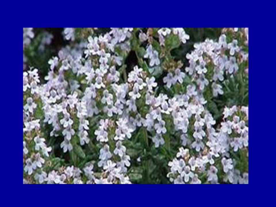 Θυμάρι (Coridothymus capitatus) Ανθίζει τον Ιούνιο και τον Ιούλιο και έχει γαλάζια άνθη.