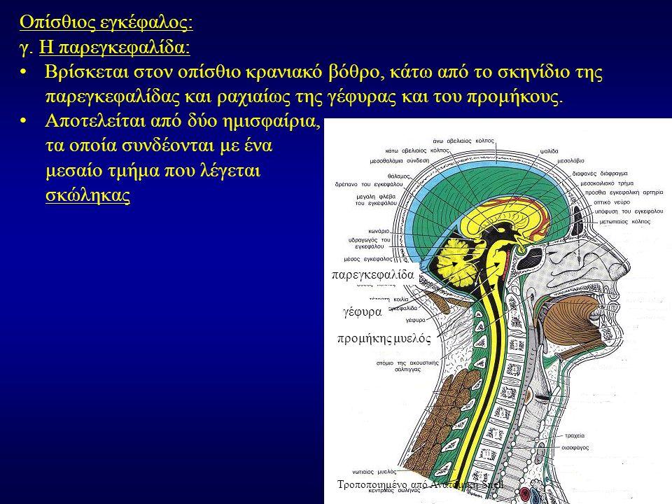 Οπίσθιος εγκέφαλος: γ.