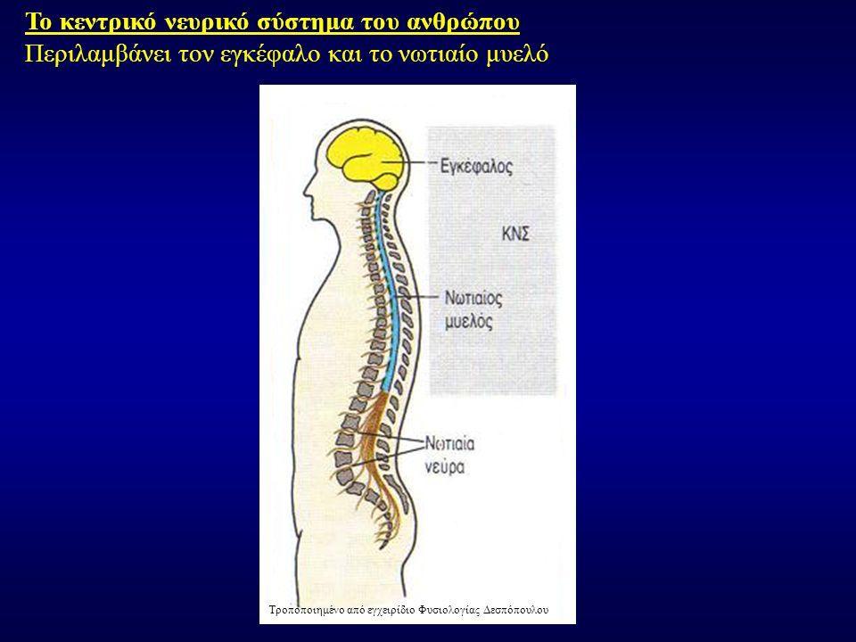 Το κεντρικό νευρικό σύστημα του ανθρώπου Περιλαμβάνει τον εγκέφαλο και το νωτιαίο μυελό Τροποποιημένο από εγχειρίδιο Φυσιολογίας Δεσπόπουλου