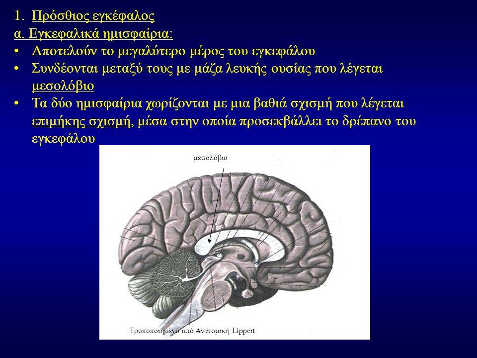 1.Πρόσθιος εγκέφαλος α.