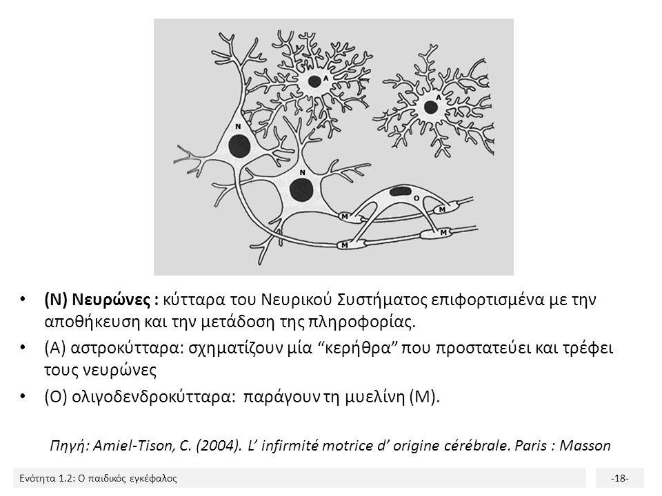 Ενότητα 1.2: Ο παιδικός εγκέφαλος-17-. Πολλαπλασιασμός νευρώνων (νευρονογένεση) Τα αρχέγονα νευρικά κύτταρα διαιρούνται και δίνουν γένεση στους νευρών