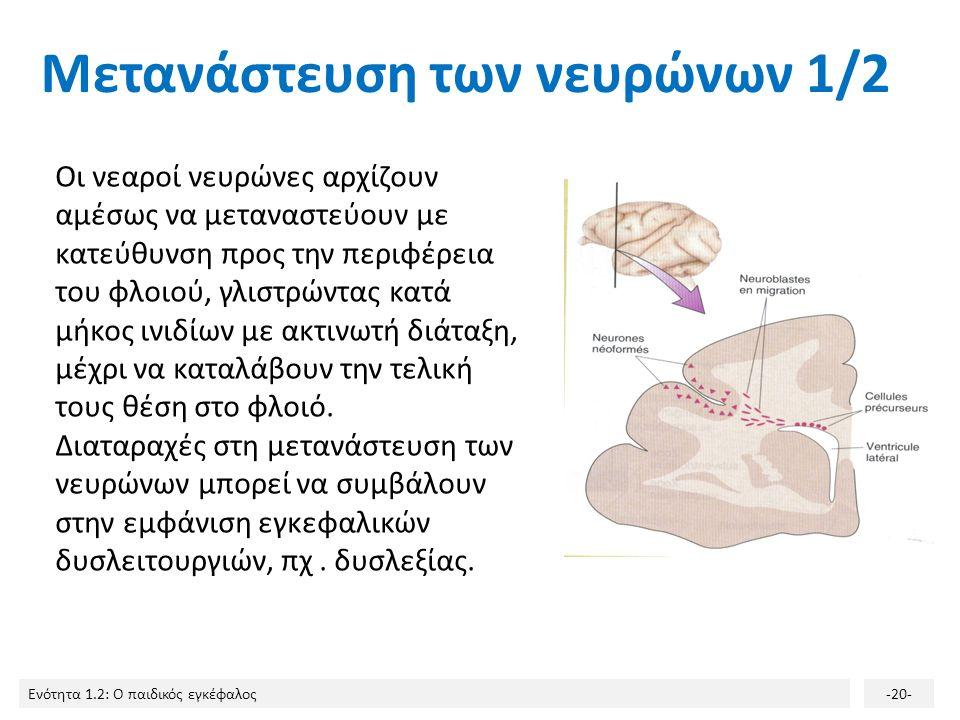 Ενότητα 1.2: Ο παιδικός εγκέφαλος-19- Ο πολλαπλασιασμός των νευρώνων είναι τόσο έντονος, ώστε ο εγκέφαλος του νεογέννητου περιέχει 100-200 δισεκατομμύ
