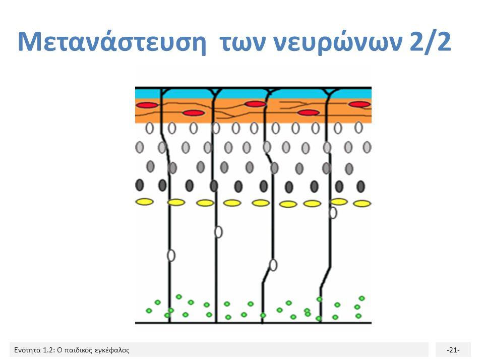Ενότητα 1.2: Ο παιδικός εγκέφαλος-20- Μετανάστευση των νευρώνων 1/2 Οι νεαροί νευρώνες αρχίζουν αμέσως να μεταναστεύουν με κατεύθυνση προς την περιφέρ