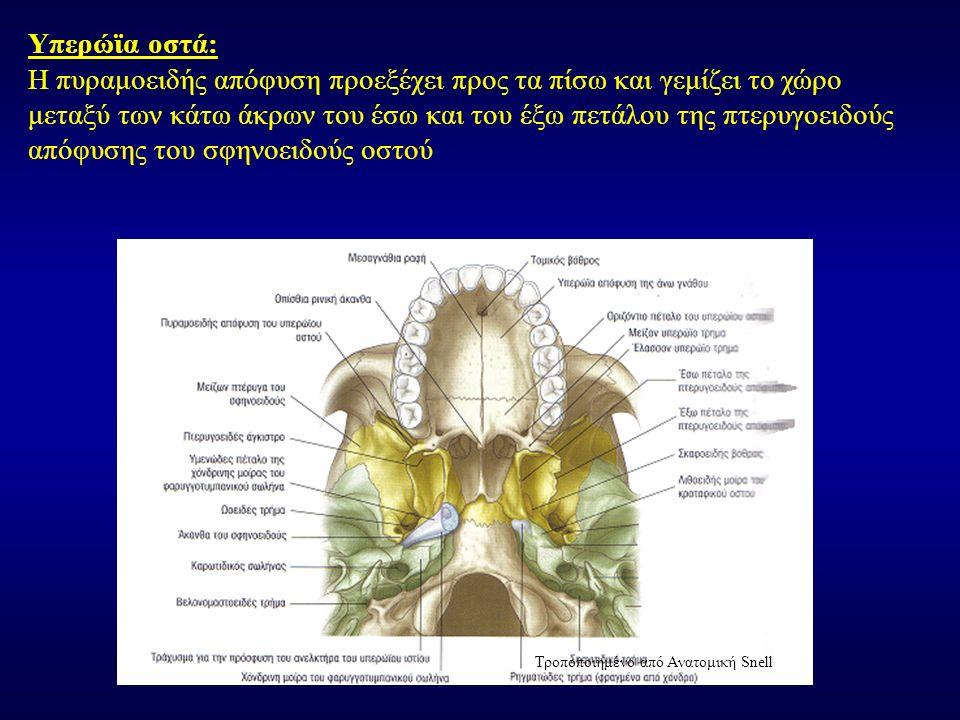 Υπερώϊα οστά: Η πυραμοειδής απόφυση προεξέχει προς τα πίσω και γεμίζει το χώρο μεταξύ των κάτω άκρων του έσω και του έξω πετάλου της πτερυγοειδούς από