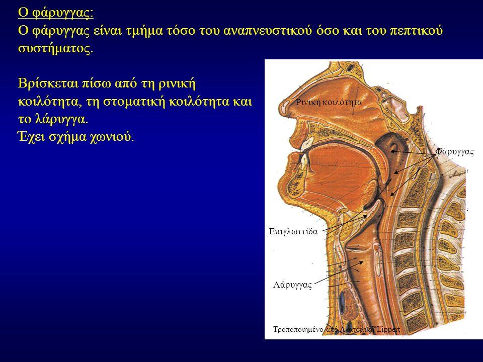 Βρίσκεται πίσω από τη ρινική κοιλότητα, τη στοματική κοιλότητα και το λάρυγγα. Έχει σχήμα χωνιού. Ο φάρυγγας: Ο φάρυγγας είναι τμήμα τόσο του αναπνευσ