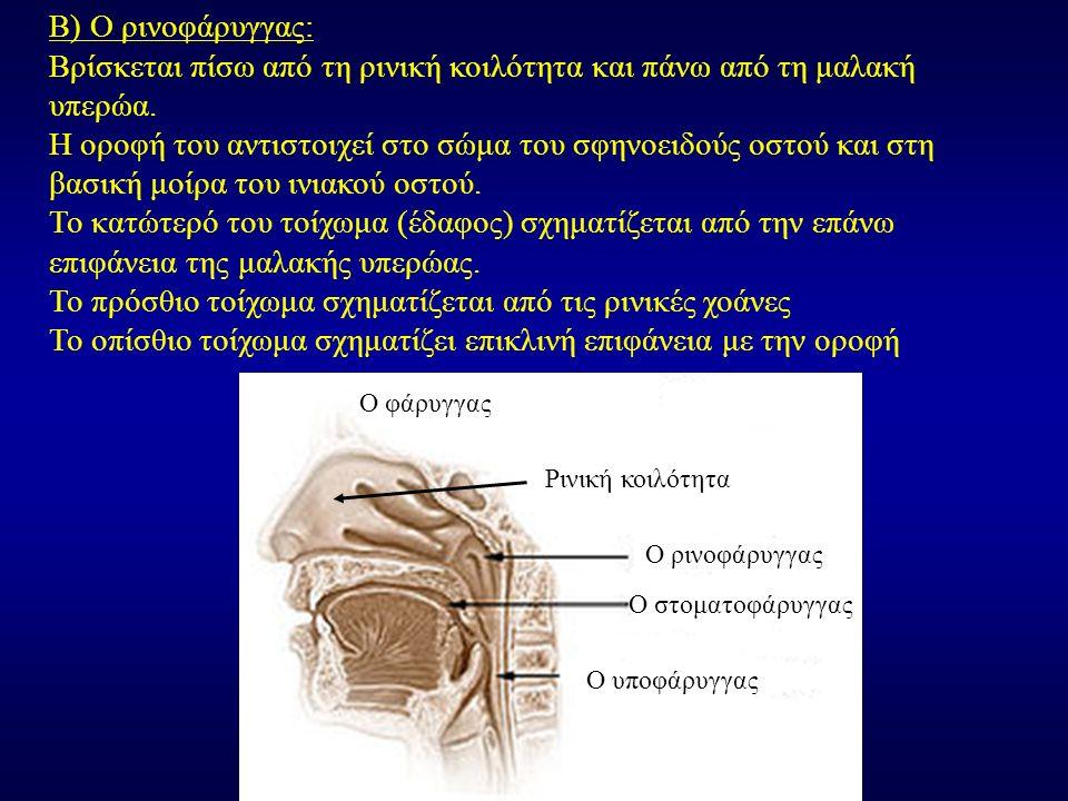 Β) Ο ρινοφάρυγγας: Βρίσκεται πίσω από τη ρινική κοιλότητα και πάνω από τη μαλακή υπερώα. Η οροφή του αντιστοιχεί στο σώμα του σφηνοειδούς οστού και στ