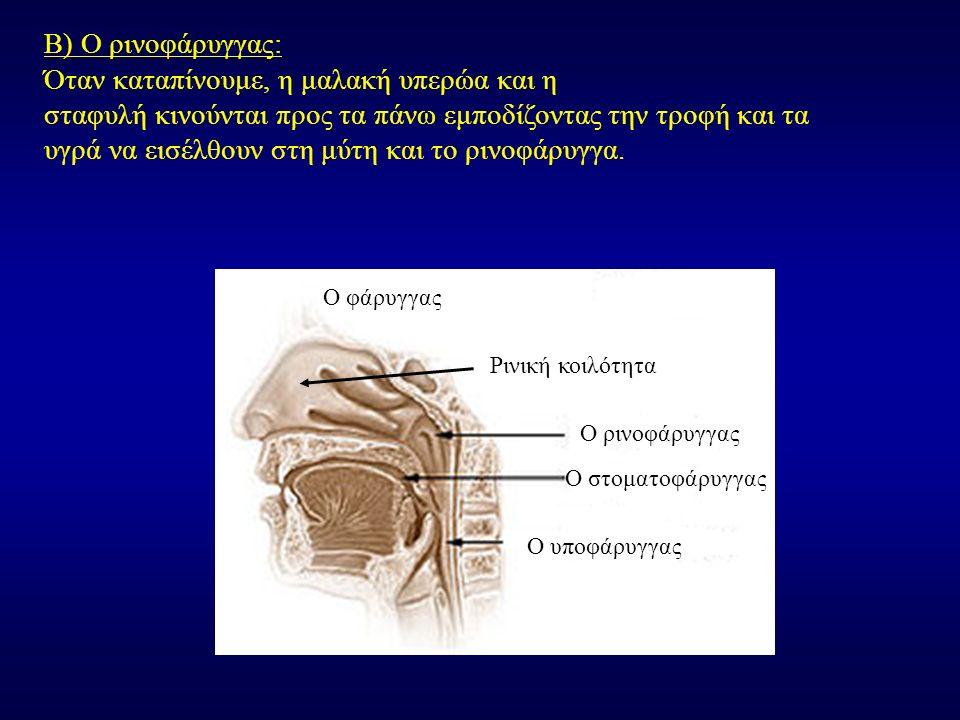 Β) Ο ρινοφάρυγγας: Όταν καταπίνουμε, η μαλακή υπερώα και η σταφυλή κινούνται προς τα πάνω εμποδίζοντας την τροφή και τα υγρά να εισέλθουν στη μύτη και