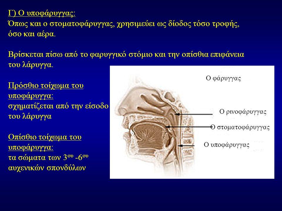 Γ) Ο υποφάρυγγας: Όπως και ο στοματοφάρυγγας, χρησιμεύει ως δίοδος τόσο τροφής, όσο και αέρα. Βρίσκεται πίσω από το φαρυγγικό στόμιο και την οπίσθια ε