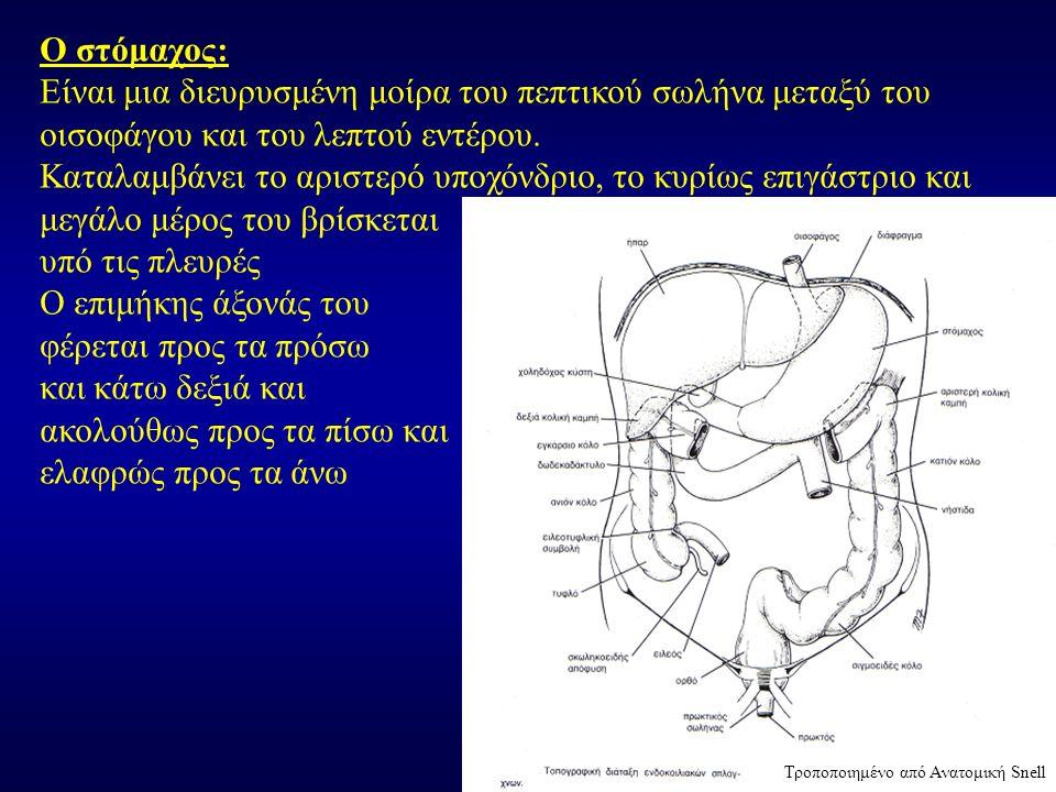 Ο στόμαχος: Είναι μια διευρυσμένη μοίρα του πεπτικού σωλήνα μεταξύ του οισοφάγου και του λεπτού εντέρου. Καταλαμβάνει το αριστερό υποχόνδριο, το κυρίω