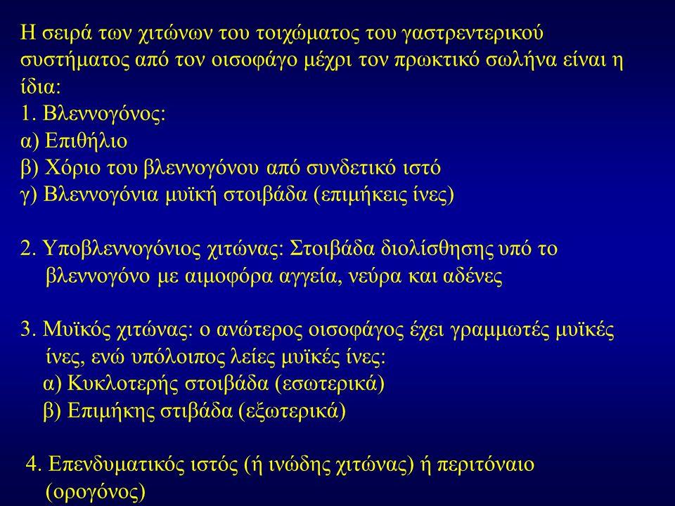 Η σειρά των χιτώνων του τοιχώματος του γαστρεντερικού συστήματος από τον οισοφάγο μέχρι τον πρωκτικό σωλήνα είναι η ίδια: 1. Βλεννογόνος: α) Επιθήλιο