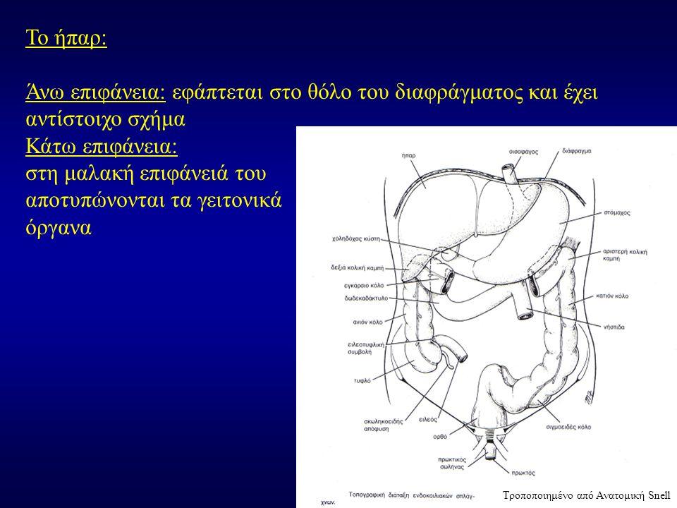 Το ήπαρ: Άνω επιφάνεια: εφάπτεται στο θόλο του διαφράγματος και έχει αντίστοιχο σχήμα Κάτω επιφάνεια: στη μαλακή επιφάνειά του αποτυπώνονται τα γειτον