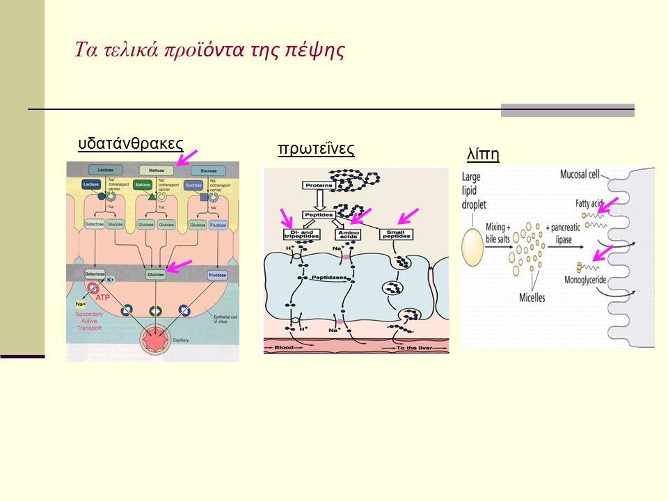Τα τελικά προ ϊόντα της πέψης υδατάνθρακες πρωτεΐνες λίπη