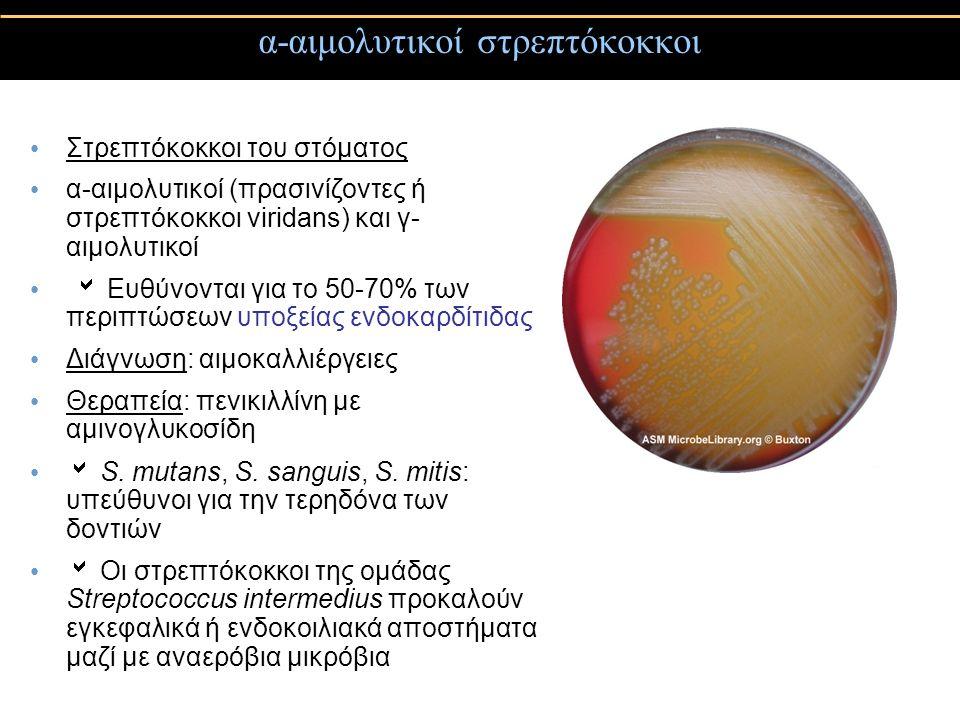 α-αιμολυτικοί στρεπτόκοκκοι Στρεπτόκοκκοι του στόματος α-αιμολυτικοί (πρασινίζοντες ή στρεπτόκοκκοι viridans) και γ- αιμολυτικοί  Ευθύνονται για το 5