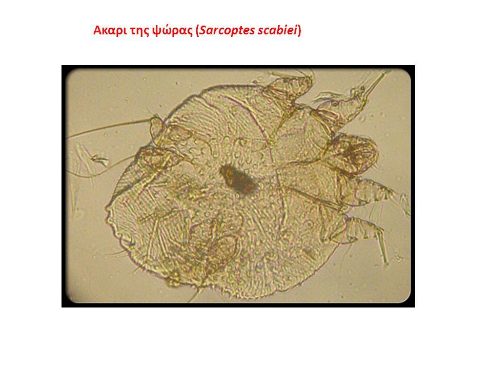 Ακαρι της ψώρας (Sarcoptes scabiei)