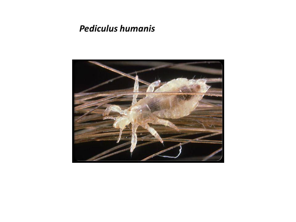 Pediculus humanis