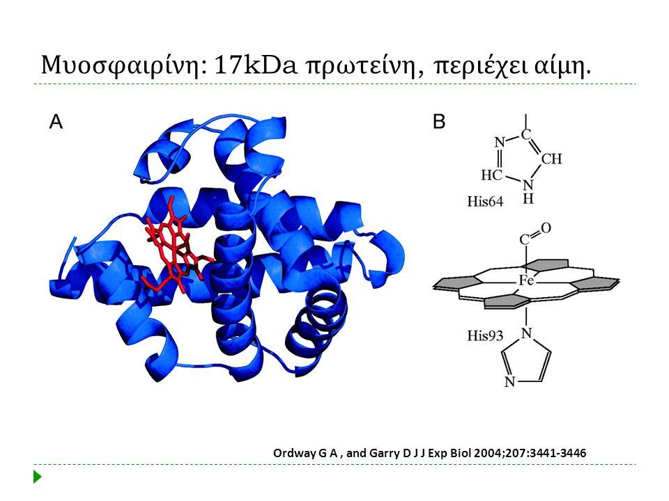 Ordway G A, and Garry D J J Exp Biol 2004;207:3441-3446 Μυοσφαιρίνη : 17kDa πρωτείνη, περιέχει αίμη.