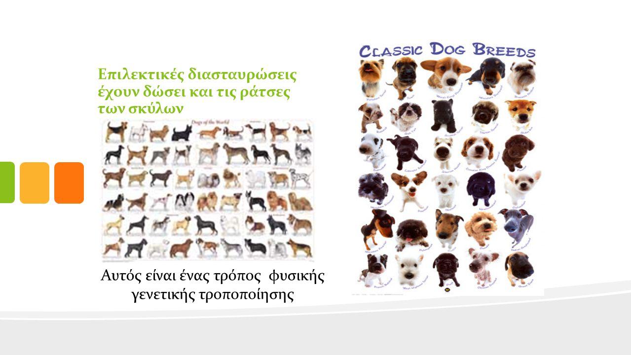 Επιλεκτικές διασταυρώσεις έχουν δώσει και τις ράτσες των σκύλων Αυτός είναι ένας τρόπος φυσικής γενετικής τροποποίησης