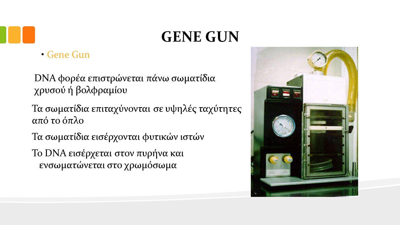 GENE GUN Gene Gun DΝΑ φορέα επιστρώνεται πάνω σωματίδια χρυσού ή βολφραμίου Τα σωματίδια επιταχύνονται σε υψηλές ταχύτητες από το όπλο Τα σωματίδια εισέρχονται φυτικών ιστών Το DNA εισέρχεται στον πυρήνα και ενσωματώνεται στο χρωμόσωμα