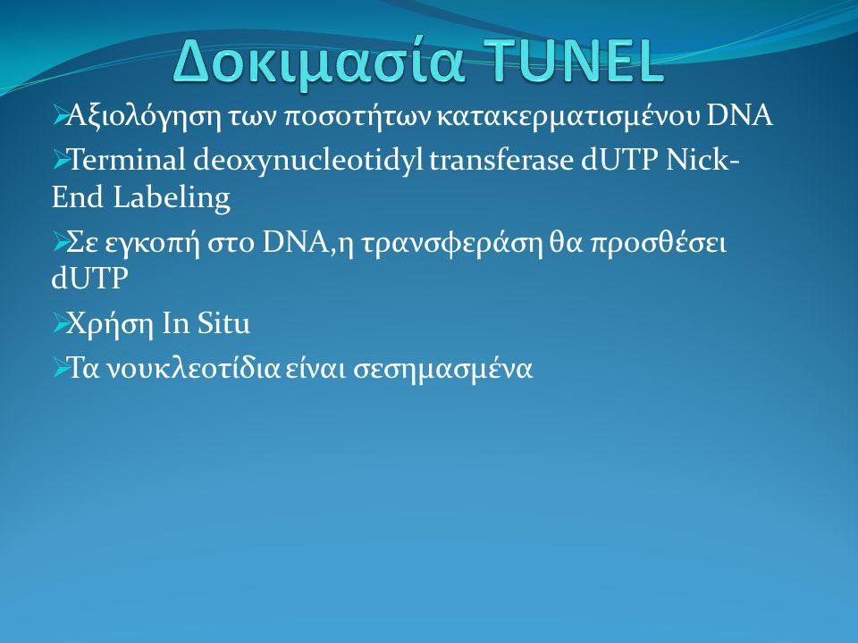  Αξιολόγηση των ποσοτήτων κατακερματισμένου DNA  Terminal deoxynucleotidyl transferase dUTP Nick- End Labeling  Σε εγκοπή στο DNA,η τρανσφεράση θα