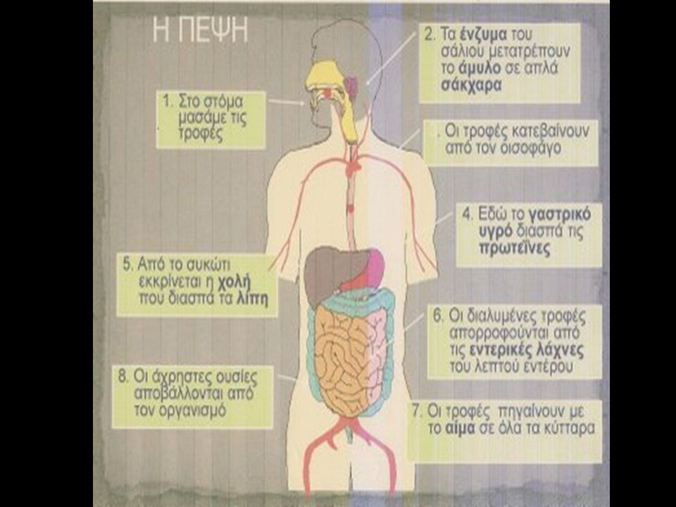 ΑΠΟΒΟΛΗ ΑΧΡΗΣΤΩΝ ΣΥΣΤΑΤΙΚΩΝ διασπώνται απορροφώνται παχύ έντεροΣυστατικά που δεν διασπώνται και δεν απορροφώνται, όπως οι φυτικές ίνες, που αποτελούνται από κυτταρίνη, περνούν στο παχύ έντερο.