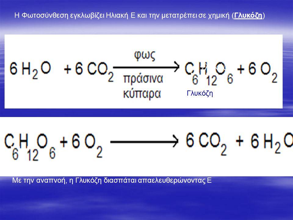 γλυκόζη Η Φωτοσύνθεση εγκλωβίζει Ηλιακή Ε και την μετατρέπει σε χημική (Γλυκόζη) ΓλΓλυκόζη Με την αναπνοή, η Γλυκόζη διασπάται απαελευθερώνοντας Ε
