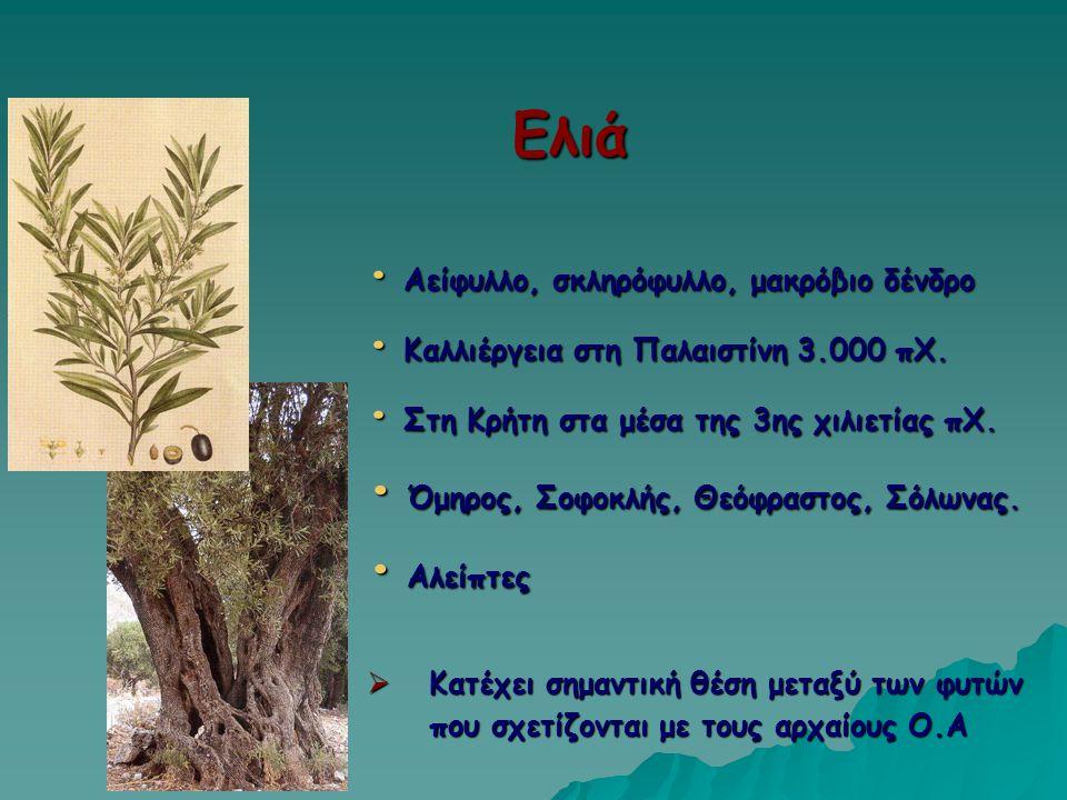 Ελιά Αείφυλλο, σκληρόφυλλο, μακρόβιο δένδρο Αείφυλλο, σκληρόφυλλο, μακρόβιο δένδρο Καλλιέργεια στη Παλαιστίνη 3.000 πΧ. Καλλιέργεια στη Παλαιστίνη 3.0