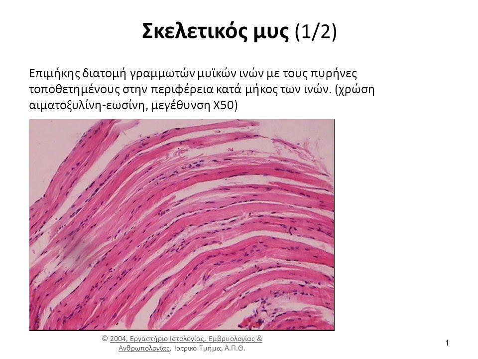 Λεπτά και παχιά μυονημάτια (2/2) Όταν ο μυς διεγείρεται, οι κεφαλές συνδέονται με την ακτίνη, και έλκουν την ακτίνη για να τραβήξει τα λεπτά νημάτια προς τη γραμμή M, αυξάνοντας την αλληλοκάλυψη μεταξύ των παχιών και λεπτών μυοϊνιδίων, κάνοντας τον μυ βραχύτερο.
