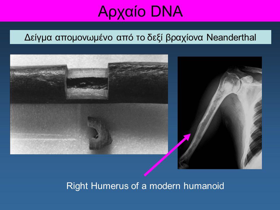 Δείγμα απομονωμένο από το δεξί βραχίονα Neanderthal Αρχαίο DNA Right Humerus of a modern humanoid