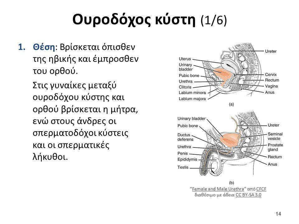 Ουροδόχος κύστη (1/6) 1.Θέση: Βρίσκεται όπισθεν της ηβικής και έμπροσθεν του ορθού. Στις γυναίκες μεταξύ ουροδόχου κύστης και ορθού βρίσκεται η μήτρα,