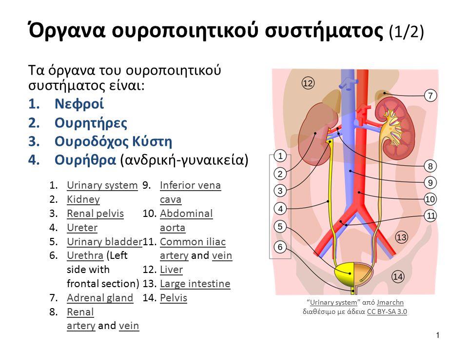 Όργανα ουροποιητικού συστήματος (2/2) Εκκριτική μοίρα (παραγωγή των ούρων) Νεφροί Εκφορητική μοίρα (Aποχέτευση των ούρων) 1.Νεφρικοί κάλυκες (ελάσσονες και μείζονες) 2.Νεφρική πύελος 3.Ουρητήρες 4.Ουροδόχος κύστη 5.Ουρήθρα 2610 The Kidney από CFCF διαθέσιμο με άδεια CC BY-SA 3.02610 The KidneyCFCFCC BY-SA 3.0 2