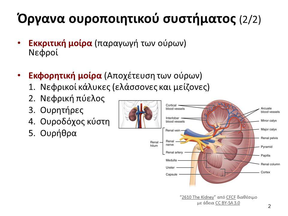 Όργανα ουροποιητικού συστήματος (2/2) Εκκριτική μοίρα (παραγωγή των ούρων) Νεφροί Εκφορητική μοίρα (Aποχέτευση των ούρων) 1.Νεφρικοί κάλυκες (ελάσσονε