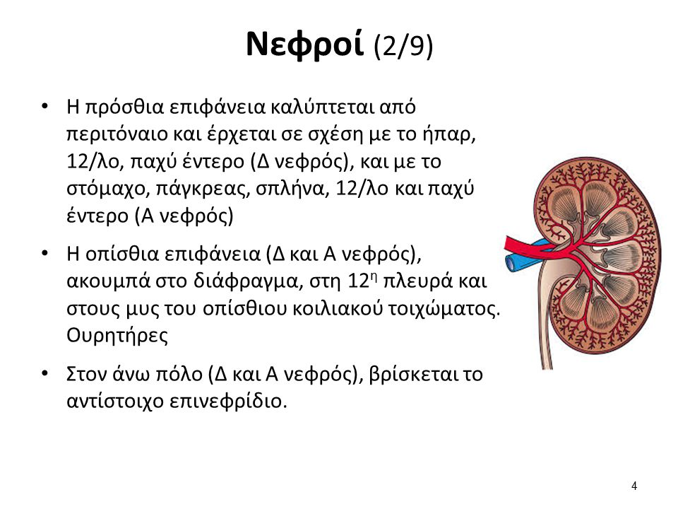 Νεφροί (2/9) Η πρόσθια επιφάνεια καλύπτεται από περιτόναιο και έρχεται σε σχέση με το ήπαρ, 12/λο, παχύ έντερο (Δ νεφρός), και με το στόμαχο, πάγκρεας