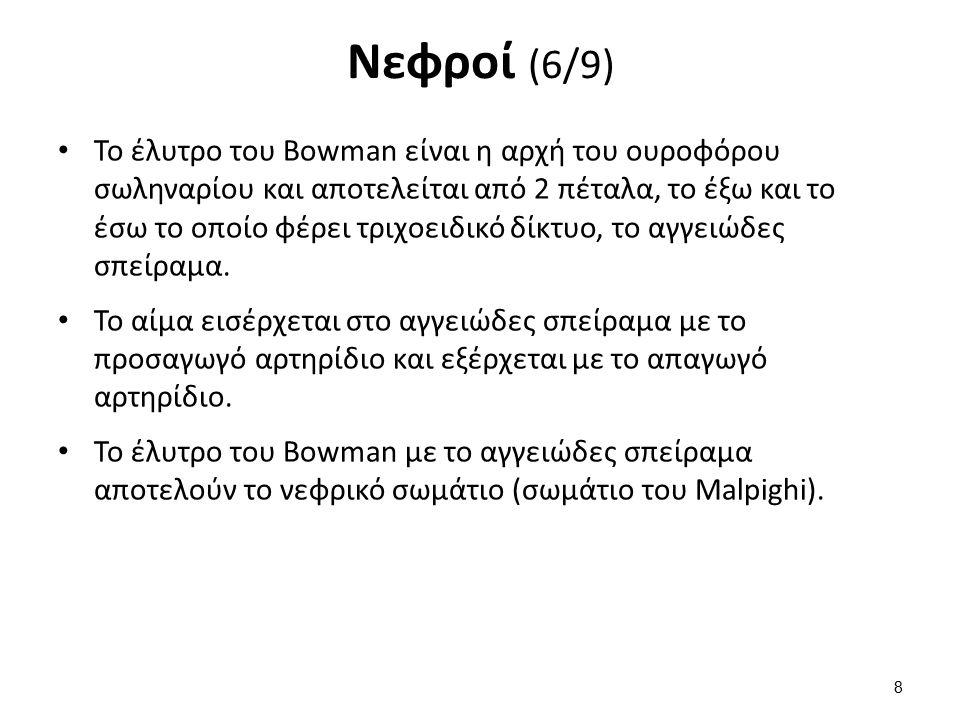 Νεφροί (6/9) Το έλυτρο του Bowman είναι η αρχή του ουροφόρου σωληναρίου και αποτελείται από 2 πέταλα, το έξω και το έσω το οποίο φέρει τριχοειδικό δίκ