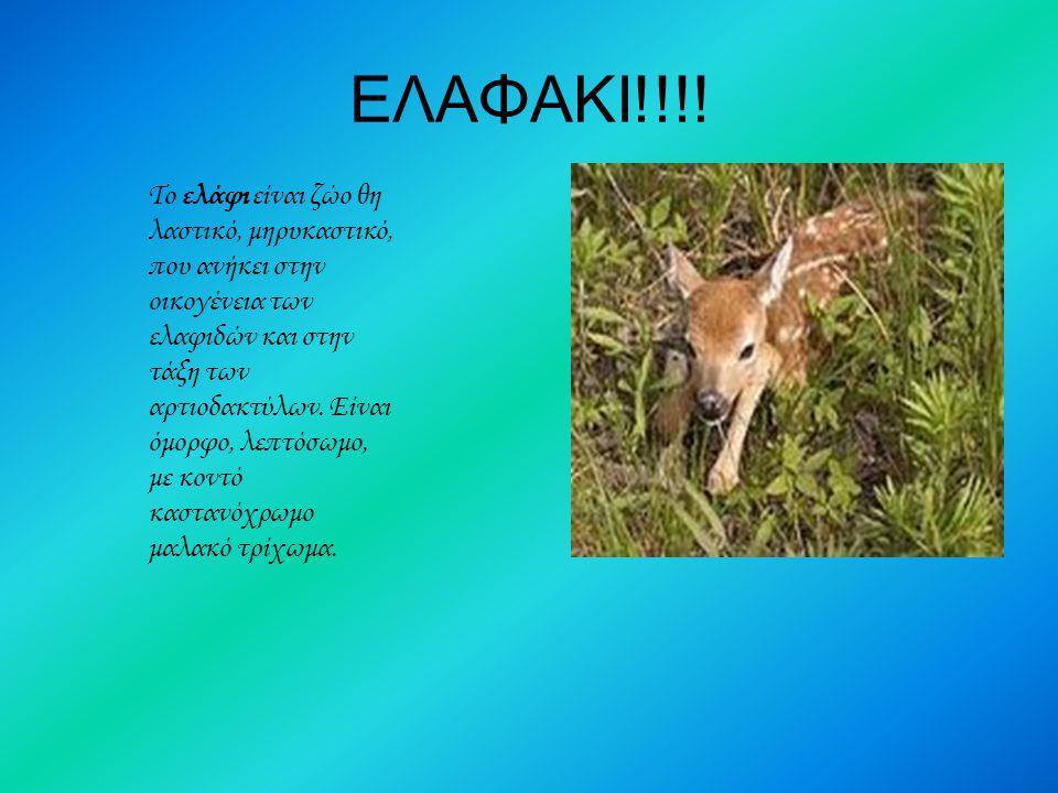 ΕΛΑΦΑΚΙ!!!! To ελάφι είναι ζώο θη λαστικό, μηρυκαστικό, που ανήκει στην οικογένεια των ελαφιδών και στην τάξη των αρτιοδακτύλων. Είναι όμορφο, λεπτόσω