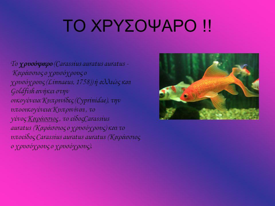 ΤΟ ΧΡΥΣΟΨΑΡΟ !! Το χρυσόψαρο (Carassius auratus auratus - Καράσσιος ο χρυσόχρους ο χρυσόχρους (Linnaeus, 1758)) ή αλλιώς και Goldfish ανήκει στην οικο