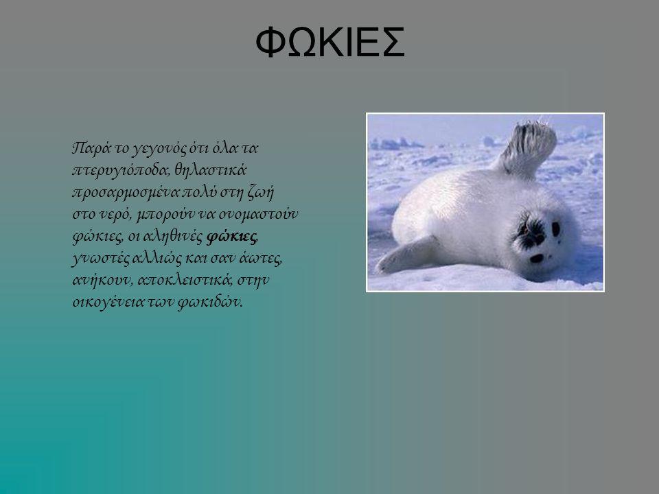 ΦΩΚΙΕΣ Παρά το γεγονός ότι όλα τα πτερυγιόποδα, θηλαστικά προσαρμοσμένα πολύ στη ζωή στο νερό, μπορούν να ονομαστούν φώκιες, οι αληθινές φώκιες, γνωστ