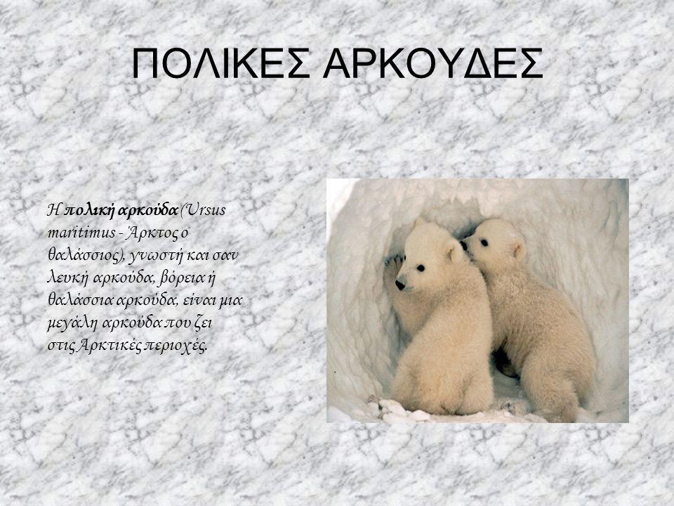 ΠΟΛΙΚΕΣ ΑΡΚΟΥΔΕΣ Η πολική αρκούδα (Ursus maritimus - Άρκτος ο θαλάσσιος), γνωστή και σαν λευκή αρκούδα, βόρεια ή θαλάσσια αρκούδα, είναι μια μεγάλη αρ