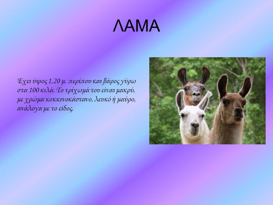 ΛΑΜΑ Έχει ύψος 1,20 μ. περίπου και βάρος γύρω στα 100 κιλά. Το τρίχωμά του είναι μακρύ, με χρώμα κοκκινοκάστανο, λευκό ή μαύρο, ανάλογα με το είδος.