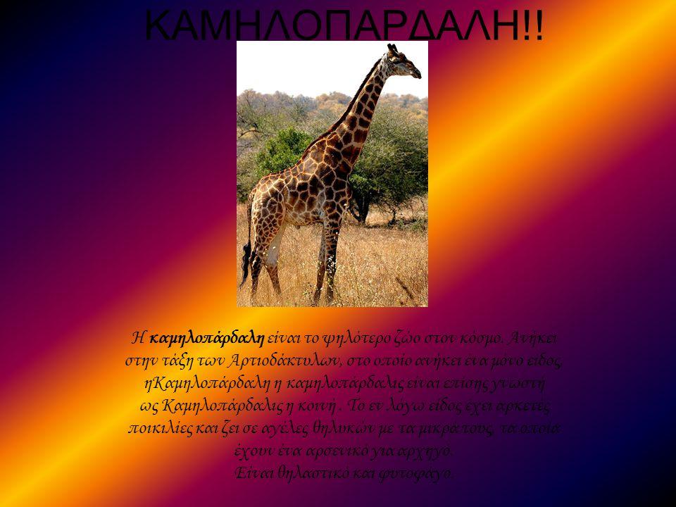 ΚΑΜΗΛΟΠΑΡΔΑΛΗ!! Η καμηλοπάρδαλη είναι το ψηλότερο ζώο στον κόσμο. Ανήκει στην τάξη των Αρτιοδάκτυλων, στο οποίο ανήκει ένα μόνο είδος, ηΚαμηλοπάρδαλη