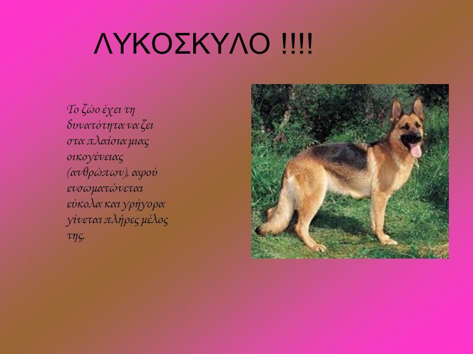 ΛΥΚΟΣΚΥΛΟ !!!! Το ζώο έχει τη δυνατότητα να ζει στα πλαίσια μιας οικογένειας (ανθρώπων), αφού ενσωματώνεται εύκολα και γρήγορα γίνεται πλήρες μέλος τη