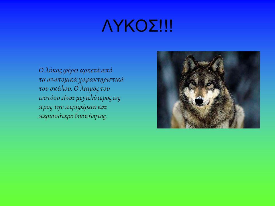 ΛΥΚΟΣ!!! Ο λύκος φέρει αρκετά από τα ανατομικά χαρακτηριστικά του σκύλου. Ο λαιμός του ωστόσο είναι μεγαλύτερος ως προς την περιφέρεια και περισσότερο