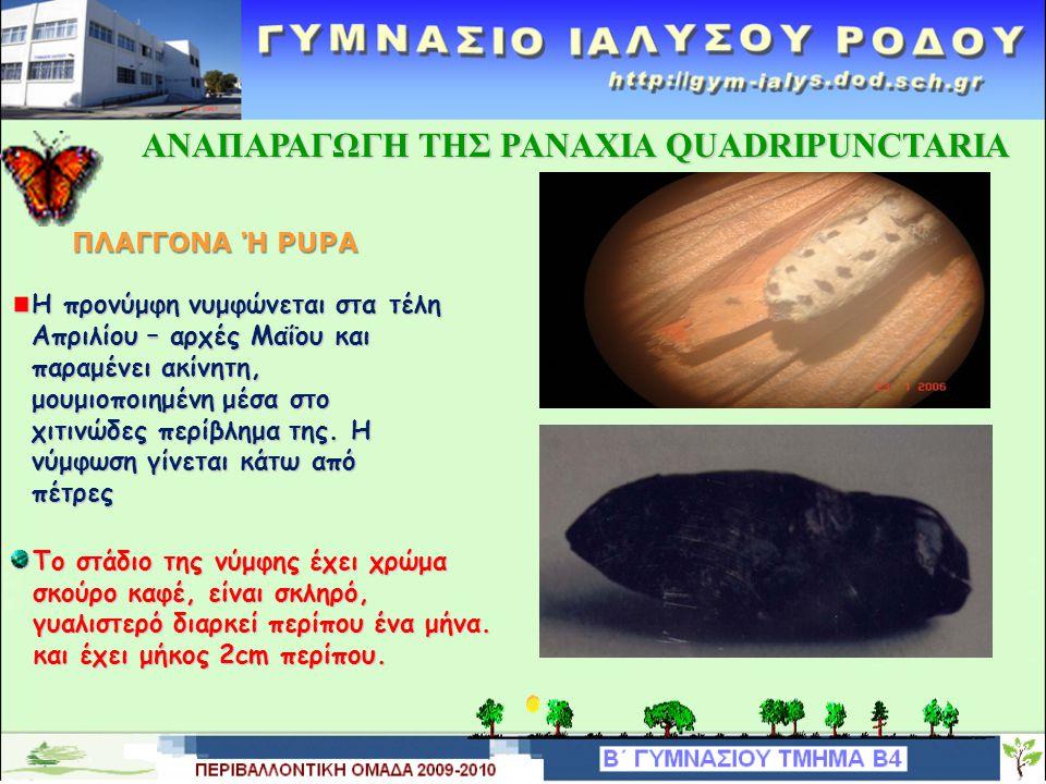 ΑΝΑΠΑΡΑΓΩΓΗ TΗΣ PANAXIA QUADRIPUNCTARIA ΑΝΑΠΑΡΑΓΩΓΗ TΗΣ PANAXIA QUADRIPUNCTARIAΠΡΟΝΥΜΦΗ Το σώμα της προνύμφης χωρίζεται σε τρία τμήματα: το κεφάλι, το