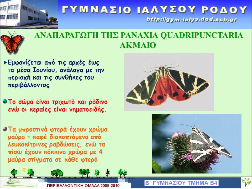 ΑΝΑΠΑΡΑΓΩΓΗ TΗΣ PANAXIA QUADRIPUNCTARIA ΑΝΑΠΑΡΑΓΩΓΗ TΗΣ PANAXIA QUADRIPUNCTARIA ΠΛΑΓΓΟΝΑ Ή PUPA Η προνύμφη νυμφώνεται στα τέλη Απριλίου – αρχές Μαΐου και παραμένει ακίνητη, μουμιοποιημένη μέσα στο χιτινώδες περίβλημα της.