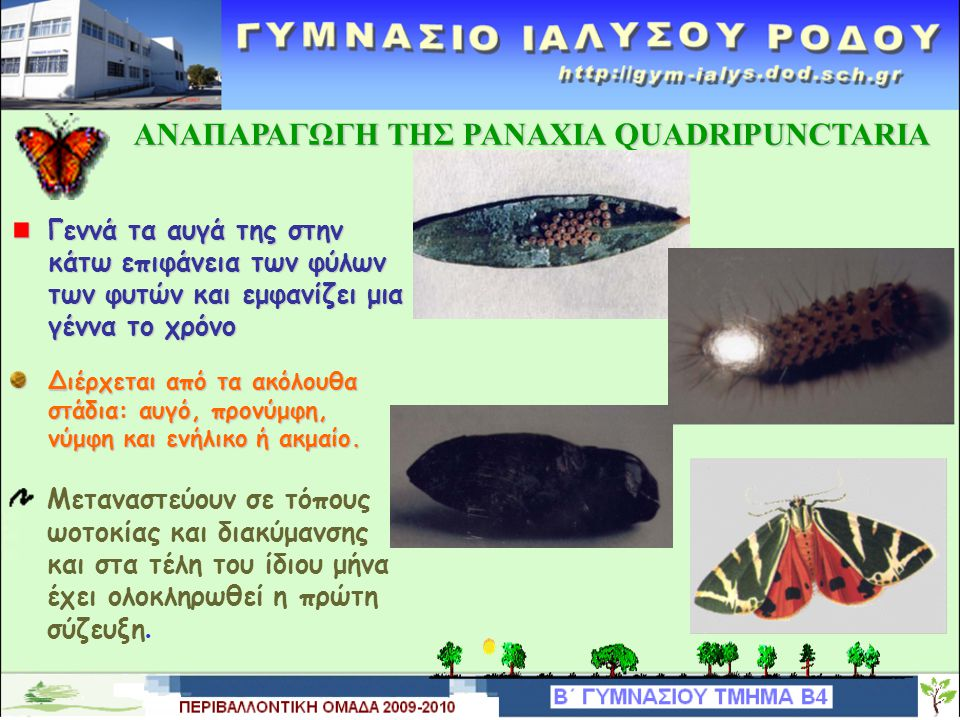 ΑΝΑΠΑΡΑΓΩΓΗ TΗΣ PANAXIA QUADRIPUNCTARIA ΑΝΑΠΑΡΑΓΩΓΗ TΗΣ PANAXIA QUADRIPUNCTARIA Γεννά τα αυγά της στην κάτω επιφάνεια των φύλων των φυτών και εμφανίζει μια γέννα το χρόνο Διέρχεται από τα ακόλουθα στάδια: αυγό, προνύμφη, νύμφη και ενήλικο ή ακμαίο.