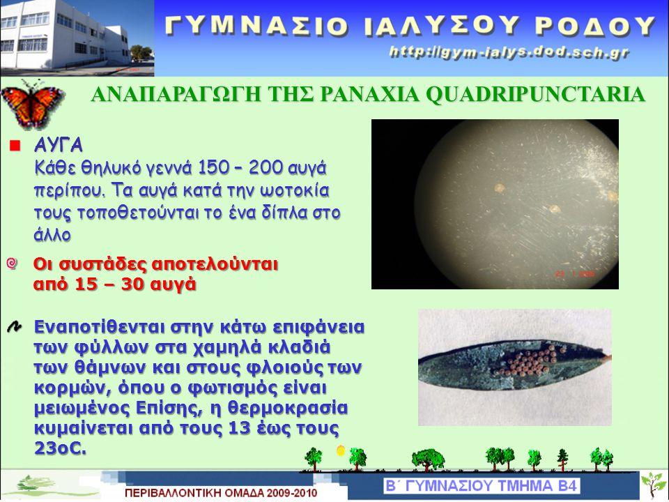 ΑΝΑΠΑΡΑΓΩΓΗ TΗΣ PANAXIA QUADRIPUNCTARIA ΑΝΑΠΑΡΑΓΩΓΗ TΗΣ PANAXIA QUADRIPUNCTARIA Γεννά τα αυγά της στην κάτω επιφάνεια των φύλων των φυτών και εμφανίζε