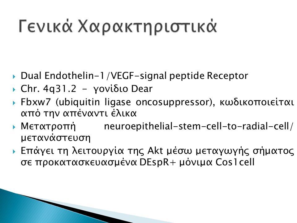  Dual Endothelin-1/VEGF-signal peptide Receptor  Chr. 4q31.2 - γονίδιο Dear  Fbxw7 (ubiquitin ligase oncosuppressor), κωδικοποιείται από την απέναν